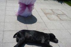 Don na svatbě - ohař, pes